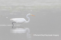 00688-02304 Great Egret (Ardea alba) in wetland in fog, Marion Co., IL
