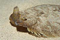 Wide-eyed flounder, (Bothus podas) living on sand and rubble, Marine Reserve, Monaco, Mediterranean Sea<br /> Mission: Larvotto marine Reserve