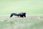 WILMINGTON, NC - OCTOBER 28: Eastern Fox Squirrel. The second round of the Landfall Tradition Women's Golf Tournament was held on October 28, 2017 at the Pete Dye Course at the Country Club of Landfall in Wilmington, NC.