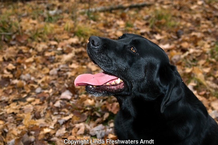 Black Labrador retriever (AKC) panting.  Fall. Winter, WI.
