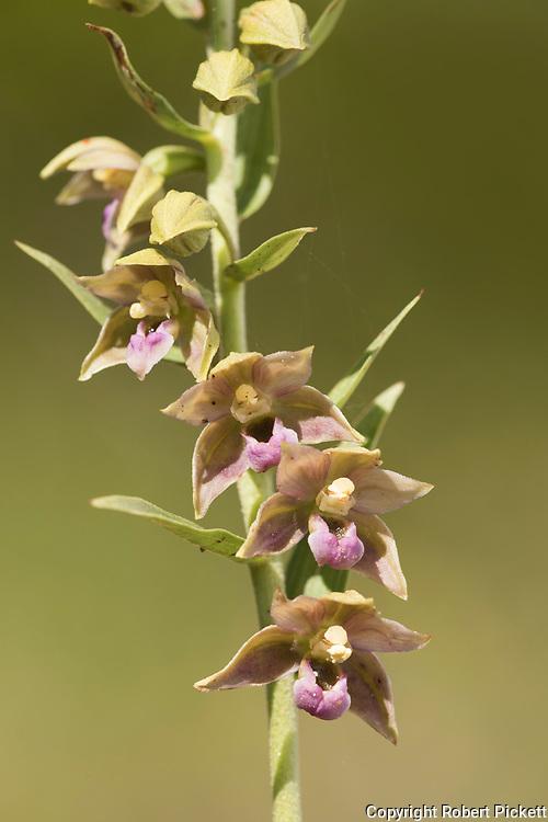 Lusitania Orchid, Epipactis lusitanica, Castro Verde, Algarve, Portugal
