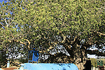 Israel, Upper Galilee, Atlantic Pistachio (Pistacia Atlantica) tree by the tomb of Rabbi Tarfon in Kadita..