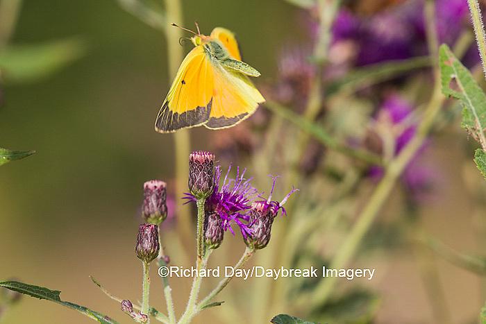 03074-00515 Orange Sulphur Butterfly (Colias eurytheme) in flight near Missouri Ironweed (Veronia missurica), Marion Co., IL