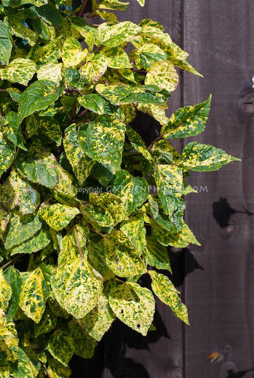 Salvia 'Dancing Flame' variegated foliage