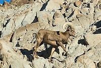 Desert Bighorn Sheep (Ovis canadensis nelsoni) ram