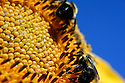 Sunflower close up with bees and blue sky