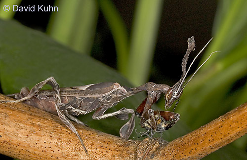 "0407-07nn  Ghost Mantis - Phyllocrania paradoxa ""Adult Male"" - © David Kuhn/Dwight Kuhn Photography"
