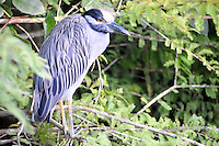 As a long,hot & muggy summer day comes to an end a Night Heron makes an appearance at Green Cay Wetlands, Boynton Beach, Florida.