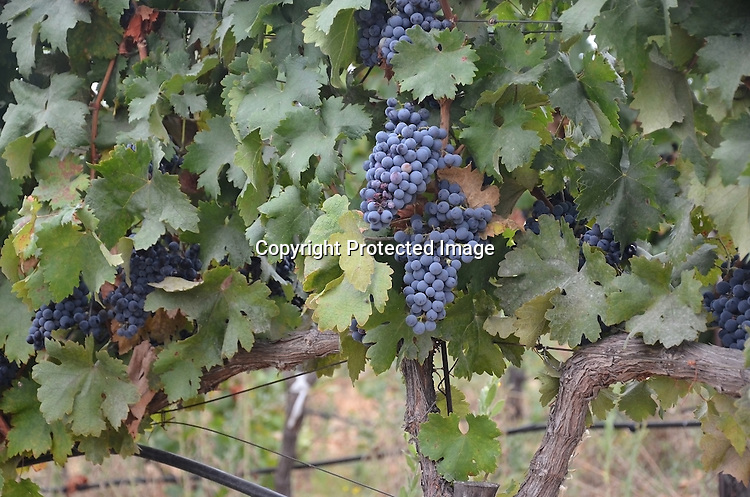 Royalty Free stock photo of Grapes on the vine
