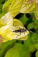 Ichneumon fly sp