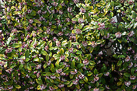 Daphne Odora, or  Winter Daphne in April in , Shimosuwa, Nagano, Japan