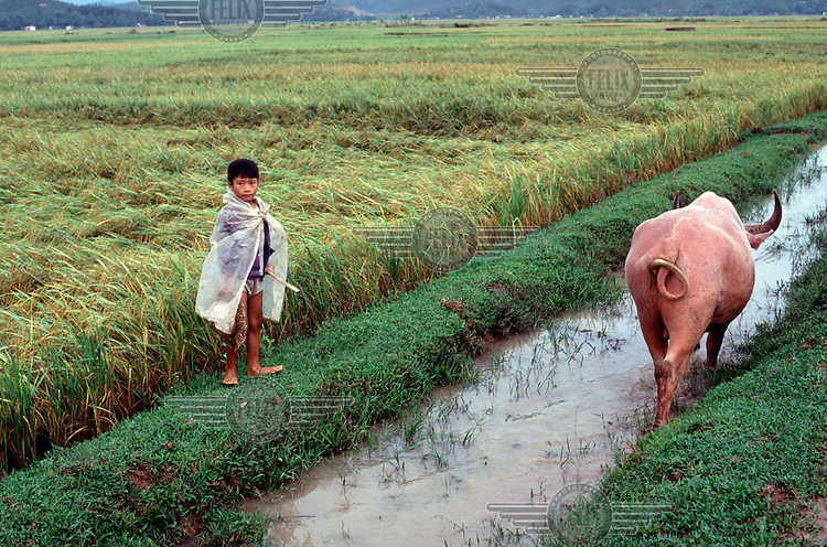 A young shepherd walks with a bull next to a rice field.