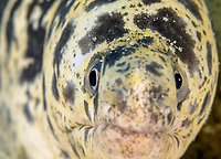 chain moray eel, Echidna catenata, Bonaire, ABC Islands, Netherlands Antilles, Caribbean Sea, Atlantic Ocean