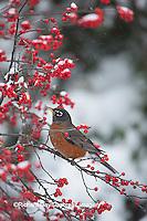 01382-05301 American Robin (Turdus migratorius) in Common Winterberry bush (Ilex verticillata) in winter, Marion Co., IL
