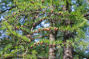Cones of a Tamarack Larch - (Larix laricina) tree during the summer months Albany, New Hampshire USA