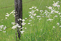 Stock photo of Fleabane wild daisy flowers grown near barbed wire fence around a wild grass field in cades cove, in the great smoky mountain national park in America.