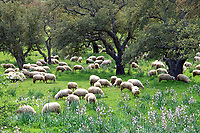 The dreadlock Sarda is a breed of domestic sheep indigenous to the island of Sardinia.  They are prized for their milk production used to make pecorino cheese. The bark of the cork trees is harvested once every decade to cap Sardinian wines.