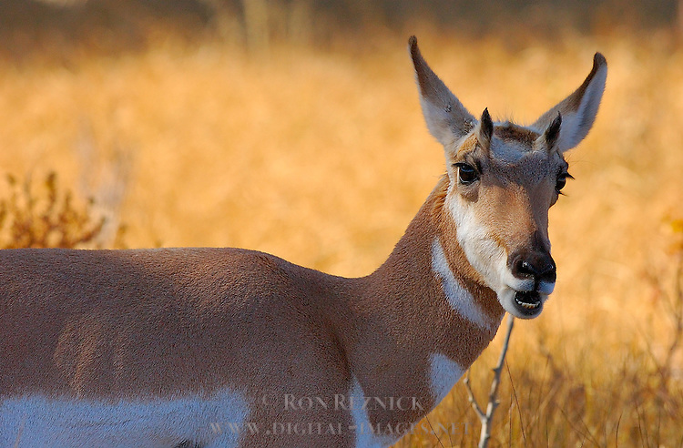 Pronghorn Female, Close Portrait, Lamar Valley, Yellowstone National Park, Wyoming