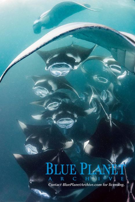 reef manta rays, Manta alfredi, cooperatively feeding on plankton en masse, Hanifaru Bay, Baa Atoll, Maldives, Indian Ocean (dm)