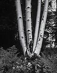 Aspen Trees,White Mountains,Arizona