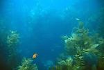 Fish in underwater kelp forest, Avalon Harbor, Catalina Island, California