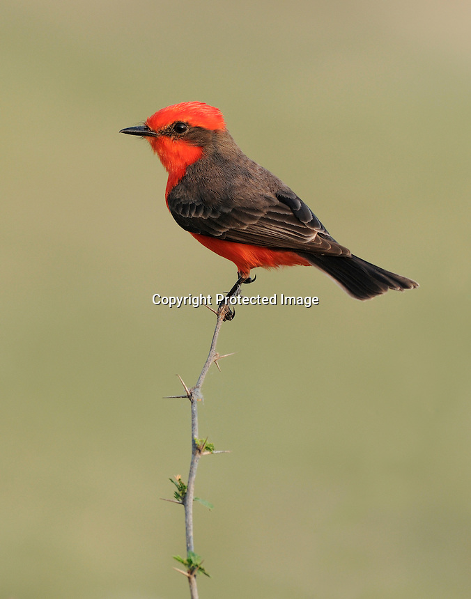a vermilion flycatcher perched on huisache in south Texas