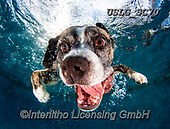 REALISTIC ANIMALS, REALISTISCHE TIERE, ANIMALES REALISTICOS, dogs, paintings+++++SethC_Wrigley_320B1156rev,USLGSC70,#A#, EVERYDAY ,underwater dogs,photos,fotos ,Seth