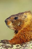 Yellow-bellied marmot (Marmota flaviventris).  Western U.S.