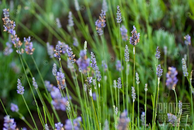 Lavender thrives at Alii Kula Lavender farm and gardens at the base of Haleakala, Kula