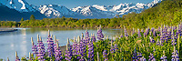 Spring landscape of lupine and Chugach Mountains along Placer River in Southcentral, Alaska<br /> <br /> Photo by Jeff Schultz (C) 2016  ALL RIGHTS RESERVED
