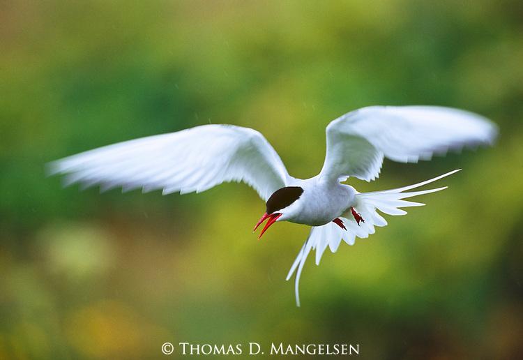 Arctic Tern in flight.