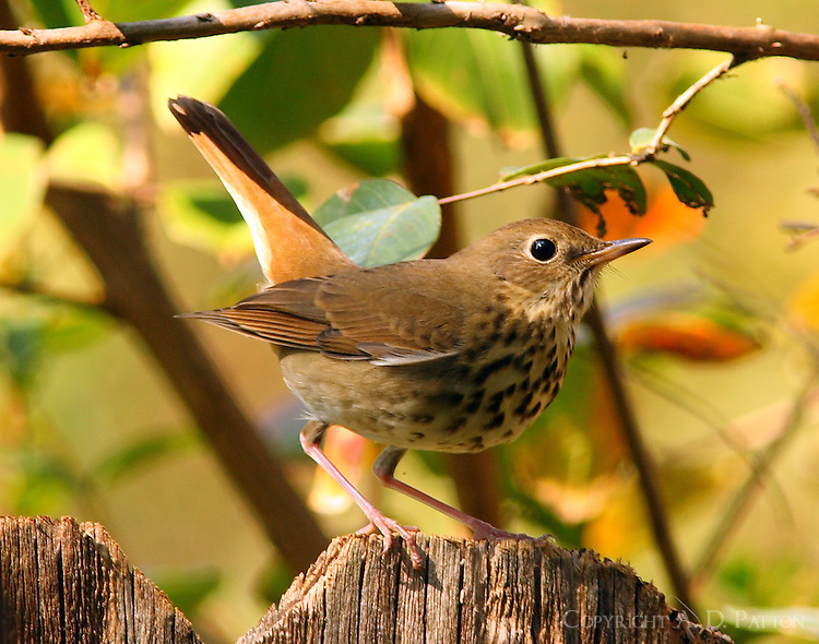 Hermit thrush in October