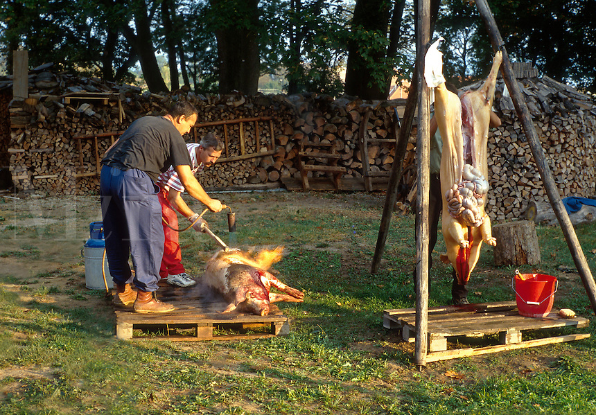 Residents of a village near Nitra butchering hogs. By tradition the process is begun at dawn and work continues untill all parts are processed, usually taking all day. 1032418. Beladice, Slovakia.