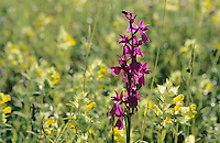 Bog Orchid, Orchis laxiflora palustris,blooming, Illmitz, Lake of Neusiedl, Austria, May 1996