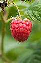 Raspberry 'Sugana', early September. A new high-yielding, autumn-fruiting variety bred in Switzerland from the same breeding program as 'Erika'. It has better double-cropping potential than most of the other primocane raspberries on the market.