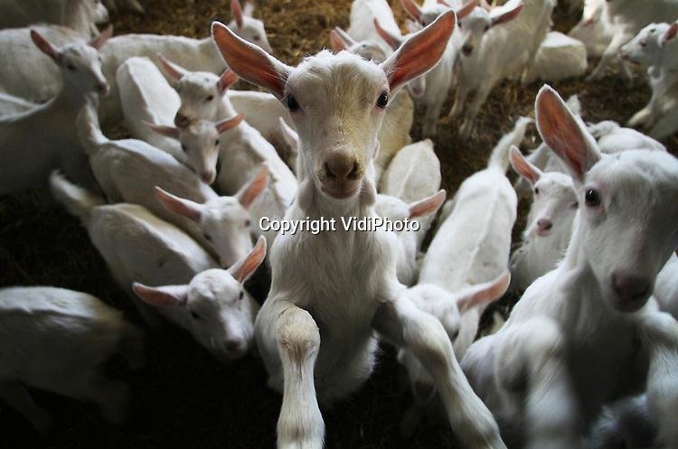 Foto: VidiPhoto..VALBURG - De eerste jonge geitjes na de Q-koorts en het opheffen van het fokverbod. Bij veehouder Erik Timmermans uit Valburg is het daarom nu al lente. De melkvee- en geitenhouder heeft inmiddels 150 jonge geitjes en minstens zoveel jonkies worden er nog verwacht. Een deel van de aanwas wordt gebruikt om de oudere melkgeiten te vervangen. De rest is voor uitbreiding van het bedrijf. Timmermans investeert op dit moment in een nieuwe melkstal, ondanks dat de prijs van geitenmelk nu erg laag ligt. Met de uitbreiding heeft de veehouder straks een bedrijf van zo'n 700 melkgeiten.