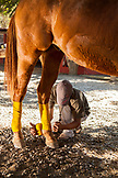 MEXICO, San Pancho, San Francisco, La Patrona Polo Club, a young man prepares the horses for the afternoon match