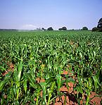 Field of sweet corn with irrigation sprayer