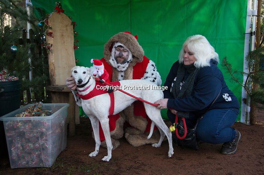 """18/12/16<br /> <br /> Greyhound, Pearl with owner Donna Starkey.<br /> <br /> Close to 800 dogs, many of them dressed up in festive garb, have visited their very own Santa Paws in a special dog-only Christmas grotto held in Sherwood Forest in Nottinghamshire this weekend.<br /> The two-day event, which was organised by park rangers working for Nottinghamshire County Council, has been running for three years.<br /> Ranger Graeme Turner, who originally came up with the idea for a doggy-themed Santa's Grotto said this year has been the best so far.<br /> """"The queue is huge, it snakes back all the way round the visitor's centre,"""" he said. """"All the dogs are being very well behaved, I guess they don't want to get onto Santa Paw's naughty list this close to Christmas!""""<br /> All canine visitors to the grotto got a special doggy bag full of treats and money raised from the event will go to Jerry Green Dog Rescue charity.<br /> <br /> All Rights Reserved F Stop Press Ltd. (0)1773 550665   www.fstoppress.com"""