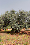 Israel, Upper Galilee. Olive tree in Ein el Assad