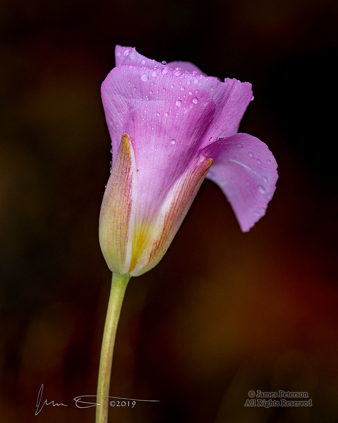 Mariposa Lily near Courthouse Butte ©2019 James D Peterson.  In a meadow near Sedona, Arizona, this emerging blossom was showing off its tiny new accessories as the sun rose after an overnight spring rainstorm.