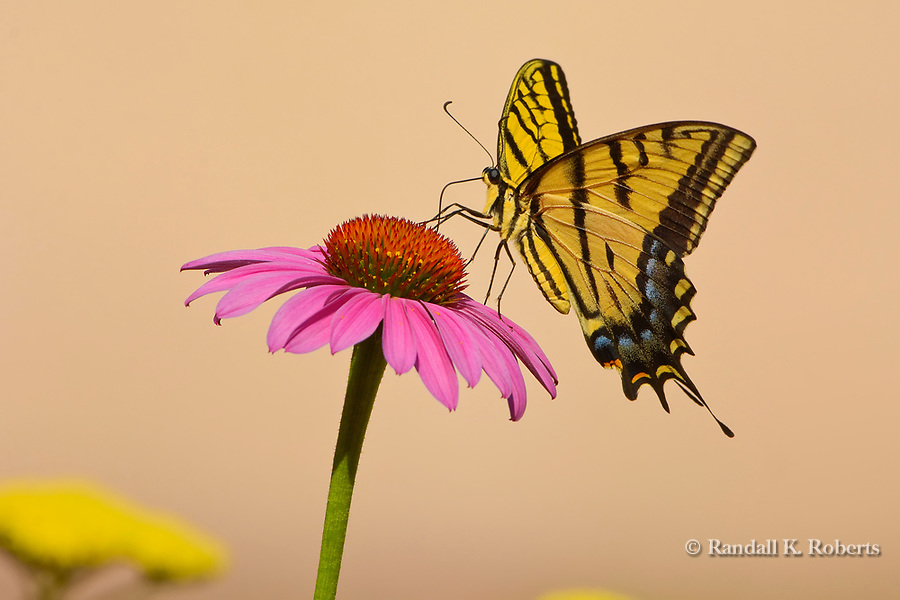 Western Tiger Swallowtail butterfly on Purple Coneflower (echinacea)