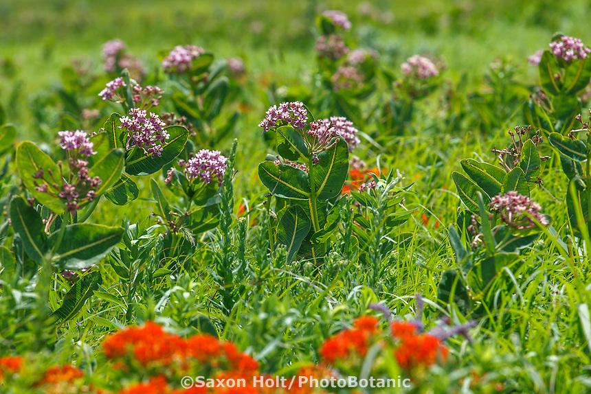 Asclepias sullivantii, smooth milkweed, Sullivant's milkweed or prairie milkweed flowering in Tallgrass Prairie Preserve, Oklahoma