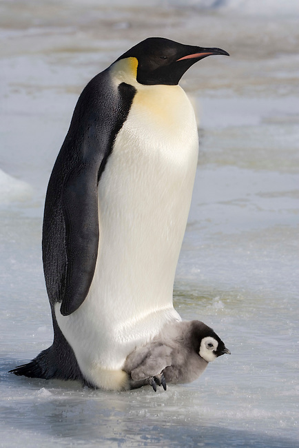 Emperor penguin with a small chick on its feet. Snow Hill Island Colony. Antarctica