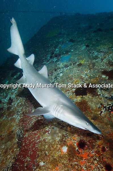 Sandtiger Shark (Carcharias taurus). Aka Grey Nurse Shark, Raggie, and Ragged Tooth Shark. North Carolina, USA, north western Atlantic Ocean.