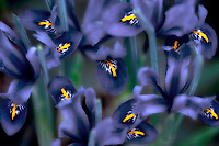 Close up of miniature Iris. Oregon