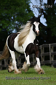 Bob, ANIMALS, REALISTISCHE TIERE, ANIMALES REALISTICOS, horses, photos+++++,GBLA3686,#a#, EVERYDAY