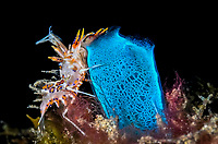 Spiny tiger shrimp, Phyllognathia ceratophthalmus, Lembeh Strait, North Sulawesi, Indonesia, Pacific
