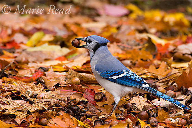 Blue Jay (Cyanocitta cristata) picking up an acorn: jays gather many acorns in autumn and hide them to provide food stores for the winter. New York, USA