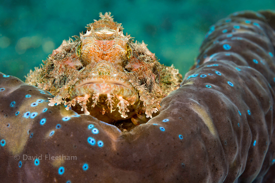 This common scorpionfish, Scorpaenopsis oxycephala, is perched on the mantle rim of a giant tridacna clam, Tridacna gigas.  It's venomous spines can inflict a painful wound. Philippines.